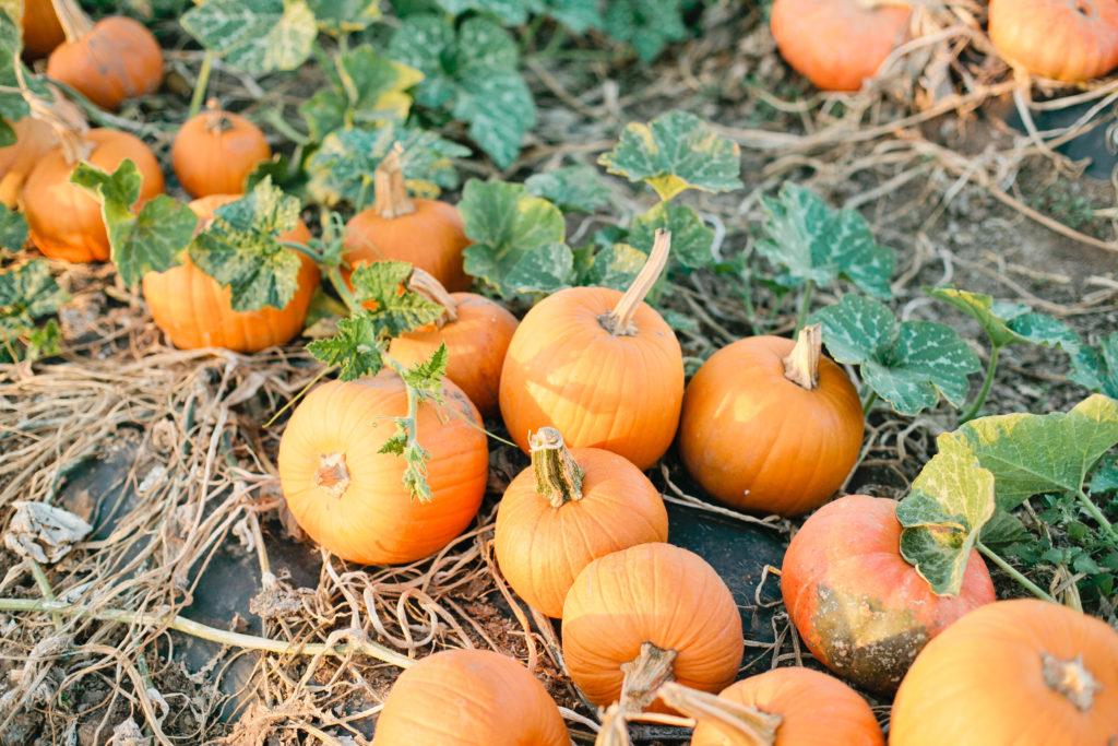 meganwelker-pumpkinpatch-135